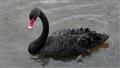 White Beak Swan