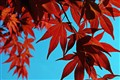 Red Maple Blue Sky