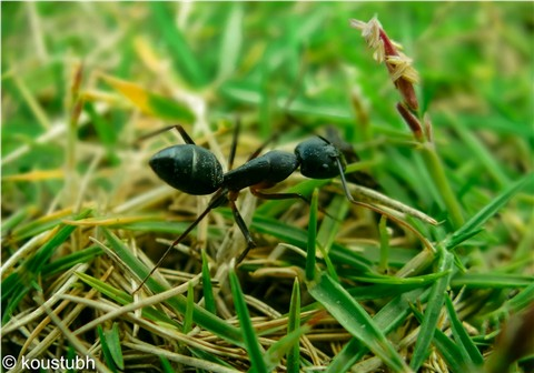Mega ANT_