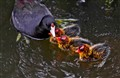 Mom and Baby Coots