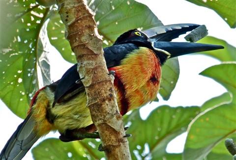 Aracari, Tc17, 140940