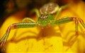 Diaea dorsata, close up and smiling!
