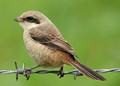 Juvenile of Long-tailed Shrike ( lanius schach )