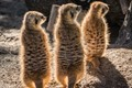 The three luminous Meerkats