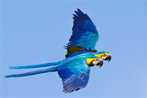 Blue-and-yellow Macaw, Barba Azul Nature Reserve, Bolivia