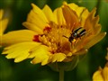 The tiny Cucumber Beetle