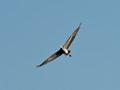 Grey Heron showing wingspan