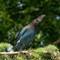2014-06-06  Curious Blue Jay