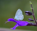 Cabbage White Butterfly & Salvia Amistad