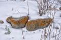 Lichen In Snow, Kyrgyzstan