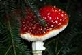 fly-agaric mushroom (Amanita muscaria)
