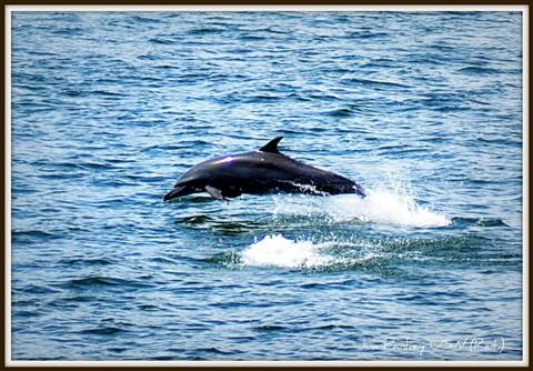 porpoise breaching