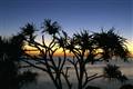 pandanus sunrise