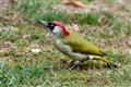 Green Woodpecker at Anthill