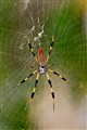 banana spider in its web