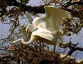 Egrets Mating