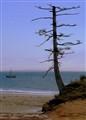 Coast Pine