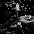 .....the lotus.....