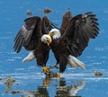 Short, vicious battle between two mature Bald Eagles to see who got to keep their feet dry as the tide came in.
