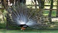 Peacock display, rear view