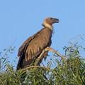 Young Eurasian Griffon Vulture