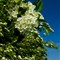 PL 008 Hawthorn Blossom