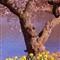 cherry blossom newark nj 2013