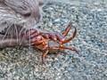 Otter Crab