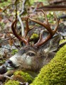 Pacific NW Blacktail