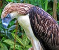 Philippine Monkey Eating Eagle
