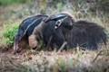 Piggybacking through Brazil...