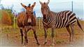 A Donky and a Zebra