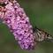 butterfly-55-300
