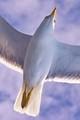 Aegean Seagull