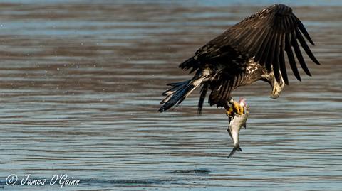 Juvenile Bald Eagle Fishing Look Back