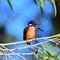Azure KingfisherDSC_7530