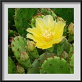 Eastern Prickly Pear Blossom (with border)