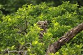Table Mountain Owl
