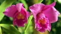 Twin Orchid from the same plant