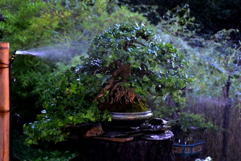 ivy grown as bonsai