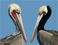 Pelicans, USA