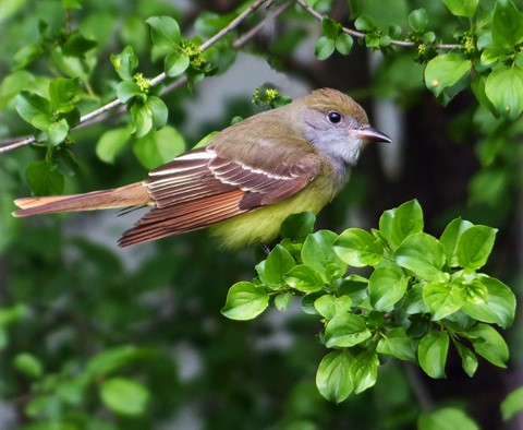 Great Crested Flycatcher Pic 1
