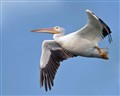 American White Pelican in Flight