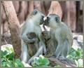 Velvet Monkey Family - Amboselli National Park