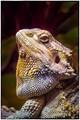 Iguana's Portrait