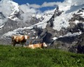 Contented Swiss Cows