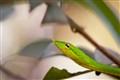 Green vine snake (Ahaetulla nasuta)