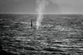 Male orca orcinus (killer whale)
