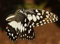 Butterflyif