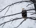 Bald eagle in Yellowstone NP